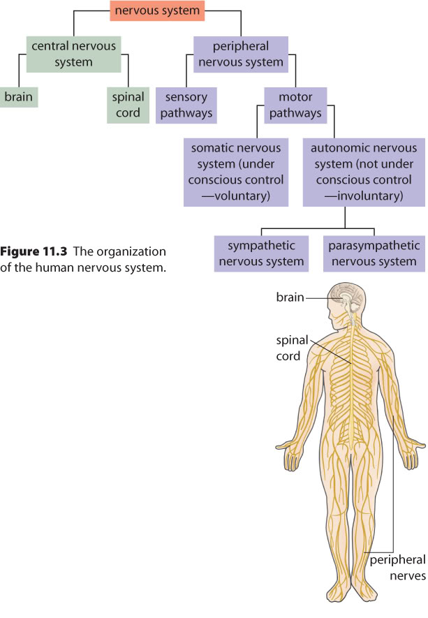 Word Of The Day Central Nervous System Cns Vs Peripheral Nervous