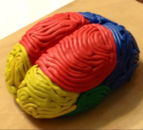brain projects A model of a brain can be made using a styrofoam ball with modeling clay that is molded to form the shapes that make up the brain different colors of modeling clay.
